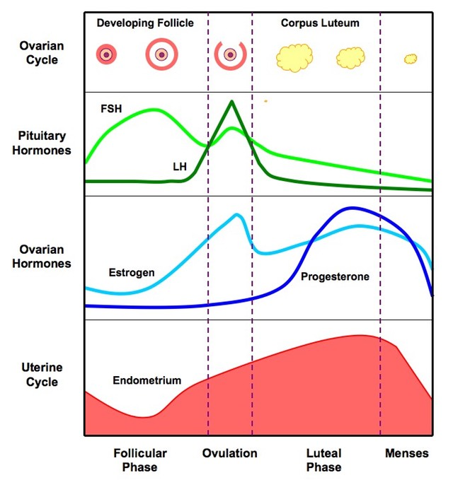 menstrual_cycle_med